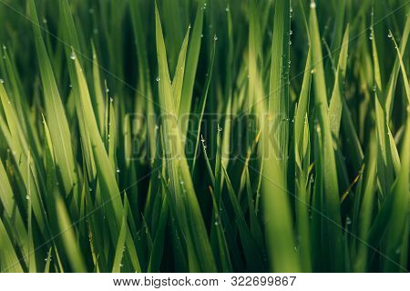Green Juicy Grass Close-up. Background Of Green Young Grass. Green Grass Background. Young Growing R