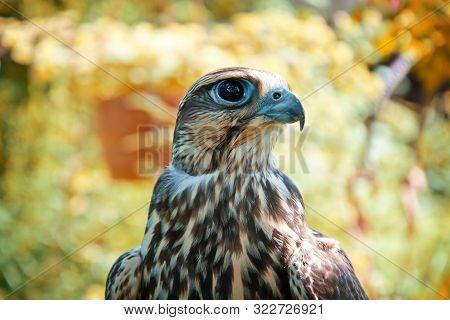 Falcon Portrait. Birds Of Prey In Nature.