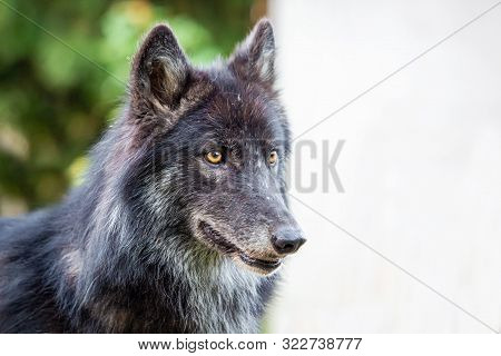 Black Dog Wolf Breed Shepherd Alone At Day