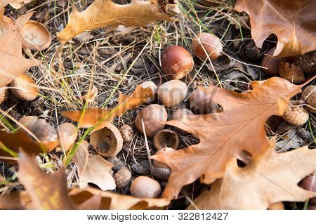 Symbol Of Fall. Close Up Ripe Acorns And Oak Leaves On Ground. Autumn Forest Concept. Gifts Of Fall.