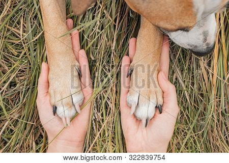 Human Hands Hold Dog Paws In Autumn Grass Background. Dog Paws Lie On Human Palms On Autumn Grass Ba