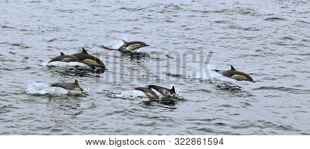 A Common Dolphin Pod Off San Diego, California, United States Of America