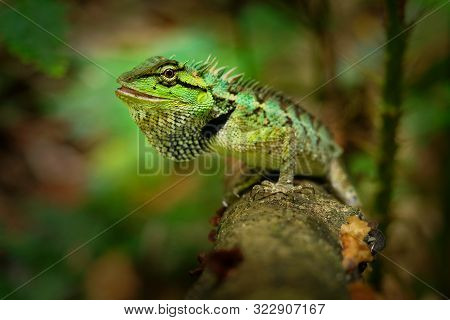 Emma Grays Forest Lizard - Calotes Emma Species Of Lizard In The Family Agamidae. The Species Is End