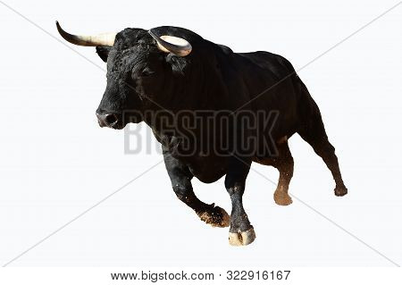 Black Bull Running In Spanish Bullring In Traditional Spectacle