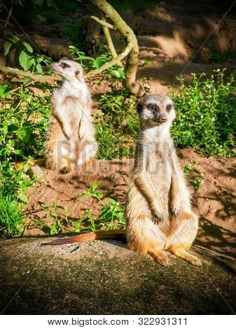 two meerkats looking for birds of prey