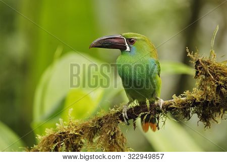 Chestnut-rumped Toucanet (aulacorhynchus Haematopygus) Perched On An Branch Covered In Epiphytes - E