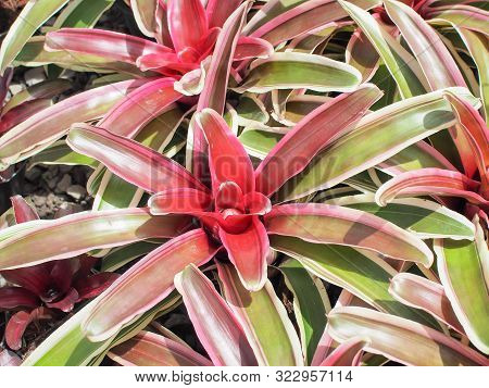 Beautiful Of Bromeliaceae Guzmania In The Garden. Exotic Flower.