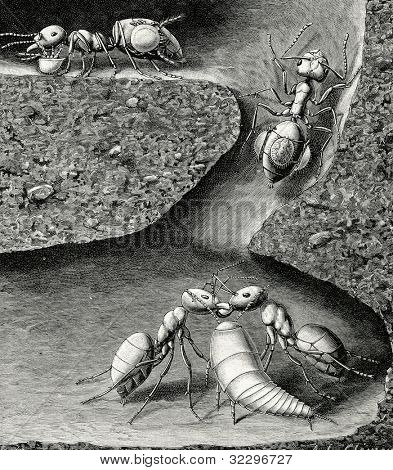 Ants in an anthill. Engraving by Tirian from picture by  Clement. Published in magazine