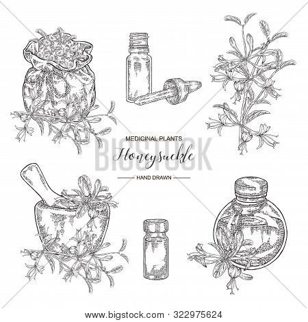 Honeysuckle Plant Set. Flowers And Berries. Lonicera Japonica. Medical Plants Hand Drawn. Vector Bot