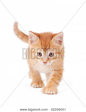 Cute orange kitten with large paws walking into the foreground