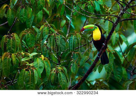 Toucan From Costa Rica. Portrait Of Keel-billed Toucan (ramphastus Sulfuratus). Colorful Bird On Bra