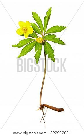 Yellow Anemone (anemone Ranunculoides) Flower On White Background. Spring Flower Of The Family Ranun