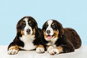 Berner sennenhund puppies posing. Cute white-braun-black doggy or pet is playing on blue background. Looks attented and playful. Studio photoshot. Concept of motion, movement, action. Negative space. poster