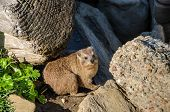 Cape hyrax (Procavia capensis) or dassie, having incomplete thermoregulation warms up on the rock in the Tsitsikamma National Park in South Africa poster
