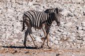 A Burchells Plains zebra -Equus quagga burchelli- standing on the plains of Etosha National Park, Namibia. poster