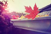 Autumn maple leaves in a rain gutter on a roof poster