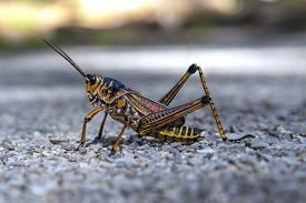 A Close Up View Of An Eastern Lubber Grasshopper.