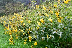 Janeba Harsh, Heliopsis Helianthoides, Is An Undemanding Hardy Perennial, South Bohemia, Czech Repub