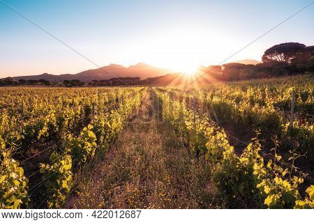 Dawn Breaking Over A Vineyard In Corsica With Mountains In The Distance