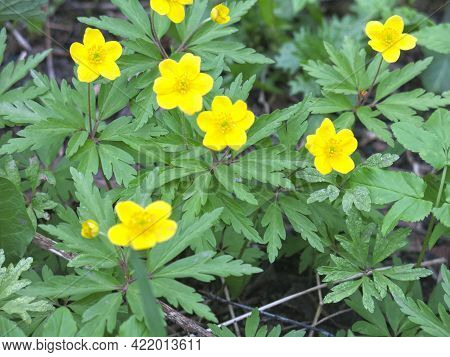Buttercup Anemone (anemone Ranunculoides) Blooms In The Spring In The Forest