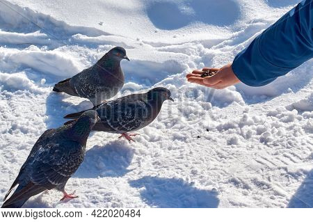 A Man Feeds Pigeons With His Hands. Helping Birds In Winter, An Ornithology Concept.