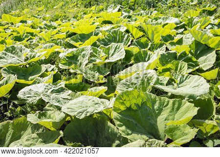Closeup Of Butterbur Leaves In The Sunlight. The Phot Was Taken In A Dutch Nature Reserve On A Sunny