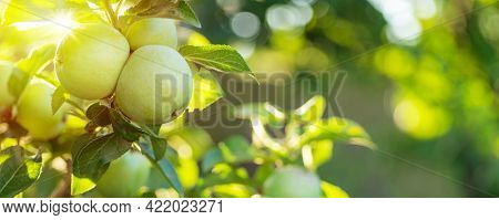 Ripe golden yellow apples on apple branch. Organic fruit in the orchard garden close-up.