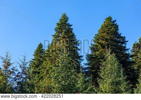 Green Trees In A Forest Of Old Spruce, Fir And Pine Trees In Wilderness Of A Park