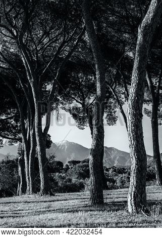 Black & White Image Of Morning Sunlight On A Group Of Pine Trees In A Vineyard In Corsica With Snow
