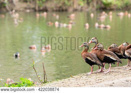 Black-bellied Whistling Ducks In Audubon Park In New Orleans