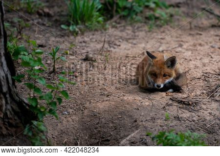 Red Fox Face Close Up. Blurred Summer Nature At The Background.