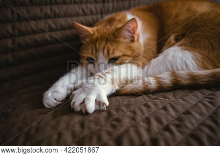 Cute Ginger Cat Lying On Sofa And Shows A Paw With Claws. Focus On Paw.