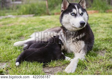 Small Puppies Sucking Mothers Nipples Lying On The Green Grass. Dog Breastfeeding. Little Puppies Ge