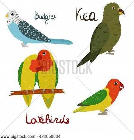 Set Of Parrot - Budgies, Lovebirds, Kea In Cartoon Style On White Background. Vector Hand Drawn Illu