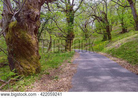 Grove Of Sweet Chestnut Trees ( Castanea Sativa ) In Spring. Montenegro