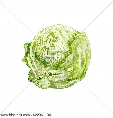 Fresh Whole Head Iceberg Lettuce. Vector Vintage Hatching Color Illustration. Isolated On White Back