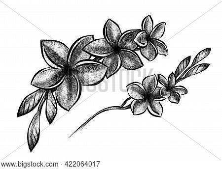 Two Branch Of Buds Of Blooming Plumeria. Isolated Flowers, Line Art, Stippling Drawing, Black And Wh