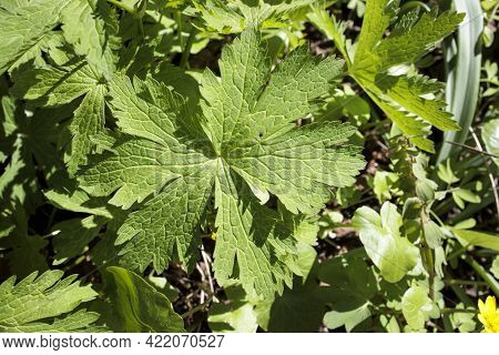 Geranium Sylvaticum, The Wood Cranesbill Or Woodland Geranium, Is A Species Of Hardy Flowering Plant