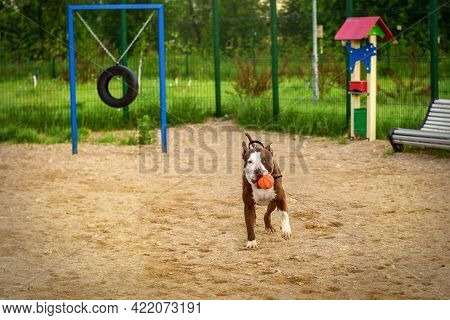 The Dog Runs With An Orange Ball In Its Mouth. A Brown Pit Bull With White Spots On The Dog Training