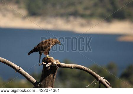The Common Buzzard (buteo Buteo) Feeding The Death Rabbit On The Branch. The Common Buzzard With A P