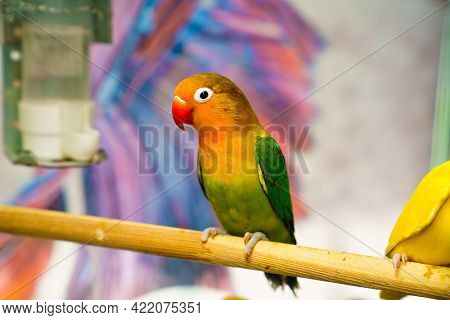 Lovebird Parrot. Bird Is Inseparable. Large, Colorful, Beautiful Parrots.