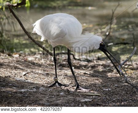 The Royal Spoonbill Is A Tall White Seabird With A Black Face With Yellow Eye Brows And Black Legs