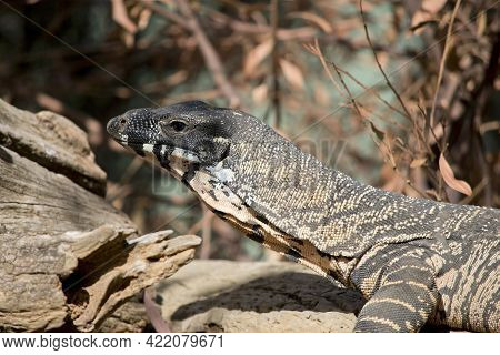 The Lace Monitur Lizard Eats Small Animals And Fruit. They Are The Second Largest Lizard In Australi