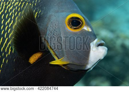 French Angelfish On Coral Reef Off The Tropical Island Of Bonaire In The Caribbean Netherlands. Clos
