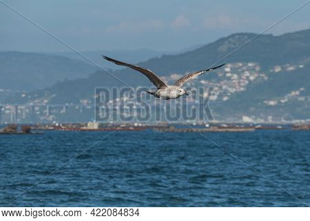 Bird Young Yellow-legged Gull Flying Over The Sea Of the Bay Of Vigo On A Sunny Day