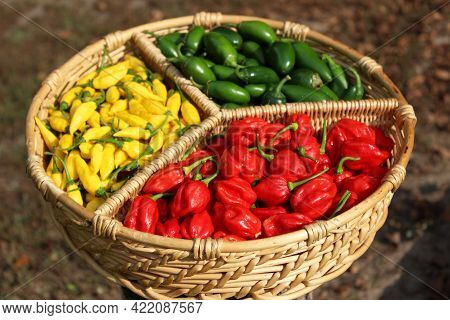 Habanero Peppers, Jalapeno Peppers And Aji Limon Peppers In Basket Outdoors
