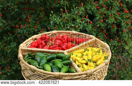 Habanero Peppers, Jalapeno Peppers And Aji Limon Peppers In Basket With Chiltepin Pepper Plant In Ba