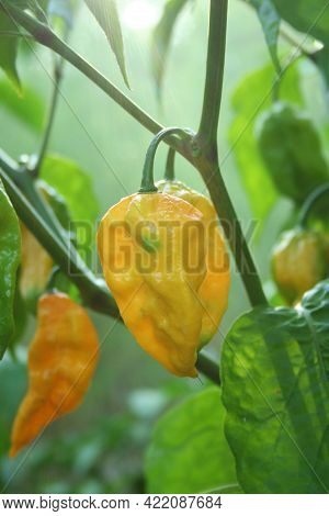 Fatalii Peppers Growing In Outdoor Garden With Natural Lense Flare - Capsicum Chinense Var. Fatalii