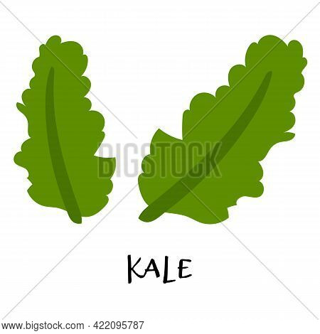 Vector Illustration Of Kale In Hand Drawn Flat Style.