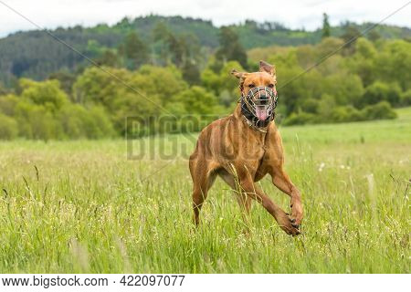 Dog On A Spring Meadow. At The Dog Wearing A Muzzle. Running Rhodesian Ridgeback With Muzzle And An